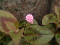 かわいらしいピンクの花…あとで調べてみるか〜