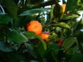 夕陽に蜜柑。しかし、金柑みたいに小さい…何ミカンだろ?