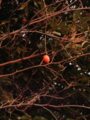 烏瓜、なんとなく枯れた蔓に風情が