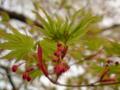 【虫嫌い注意】楓の新芽…!せっかく撮ったのにアブラムシが…