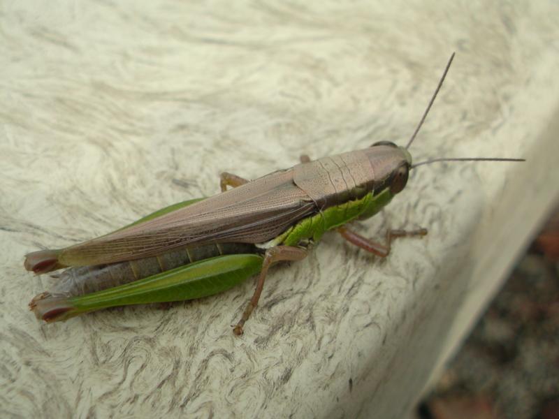 【虫嫌い注意】イナゴちゃん のんびりベンチで 休憩か  【虫嫌い注意】イナゴちゃん のんびりベン