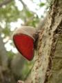 木に耳が?陽に透かすと余計に…木耳とはよくいったもんだ。