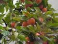 柿。ここの葉はまだ青い。日陰で実が熟れきってないから?