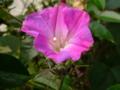 師走だが あれ朝顔か この花は #jhaiku 近縁の耐寒性のか?