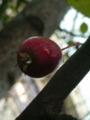 ずっと桜だと思い込んでた、駅前の木。実がちがーう!