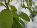 葉の上に ひらりと降りた 雪の精 #jhaiku すぐ還っちゃう〜