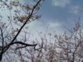 昼休み 桜の下で 食休み #jhaiku いいトコに会社あるなあ、ホント。