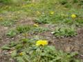贅沢な 緑の絨毯 花模様 #jhaiku この時期はいいね、鮮やかで〜