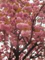 土曜の八重桜。いちばんいいときに撮ったかな。迫力満点。