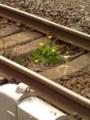 鉄の道 ごつごつ敷石 突如花 #jhaiku たまたますり抜けて土までたどり着