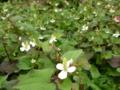 どくだみ。庭の意図しないトコで生えられたら確かアレだけど、花を見