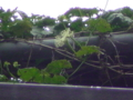 烏瓜かな…レースのような花に見えたんだけど。望遠鏡で明日は見てみ