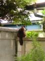 塀の上にタヌキがッ?!…恰幅のいい猫さんでした…