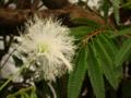 ネムノキかな?ふわふわの花だよねえ。白いのは見たことなかったなあ