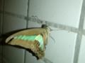 【虫嫌い注意】昨晩見かけた、青条揚羽。羽が傷だらけ。いろいろあっ