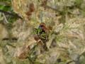 【虫嫌い注意】カワイクナイテントウ、雑草を食べ尽くす…