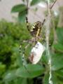 【虫嫌い注意】お食事中のナガコガネグモ。何捕まえたかな?