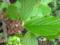 マンサクの葉。新芽のクシャクシャ、やはり、太い葉脈に沿ってたたま