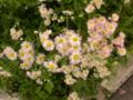 春が好き いろんな花咲く そちこちに #haiku