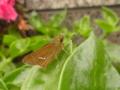 セセリチョウ。おお、来ましたね、虫さん達の季節が!