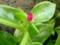 ハナヅルソウ。ニョッキリ出た花びらが、すみっこおそうじブラシみた