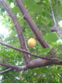 ひいきの杏子ちゃんがだいぶ色づいてきた。