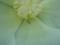 フヨウの花にいた虫、おそらくヒメイトカメムシかと。前足と思ってた