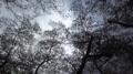[201104花みあら][春][植物][桜]20110409東京花見オフ