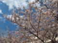 [駒込][春][桜]