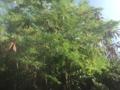 [2015家族沖縄][沖縄]合歓の木