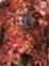 [秋][植物][紅葉]