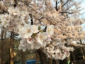 [桜][春]善福寺川緑地