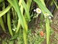 ハルジオンと野芥子