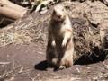 [動物][上野動物園]プレーリードッグ