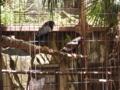 [上野動物園][鳥]ダルマワシ