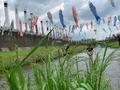 鶴見川鯉のぼり
