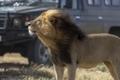 フォトジェニックなライオン、タンザニアに現る