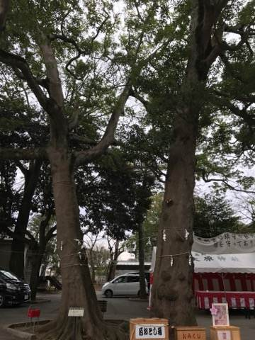 大原大宮神社の夫婦木