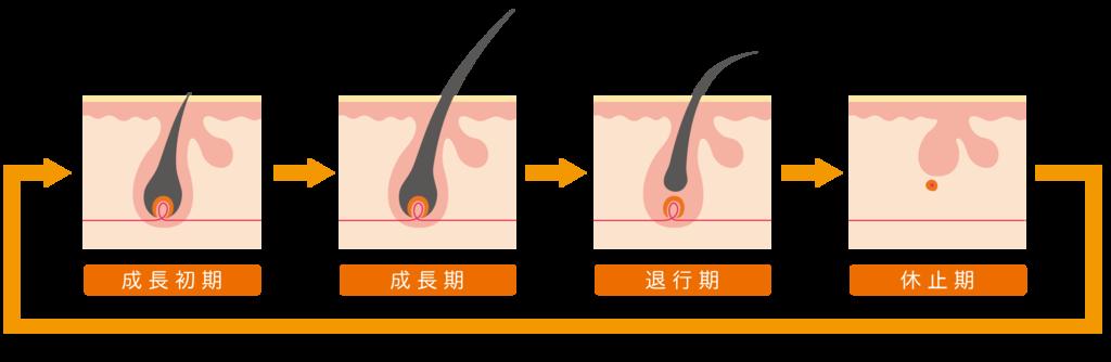 プロペシアとミノキシジルの発毛ステップ