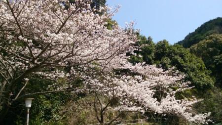 天気がいい日に咲き誇る桜は綺麗だと思う。今年は