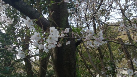 桜をアップで撮ってみた(*´ω`*)