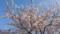 晴れた空と桜は合うねえ