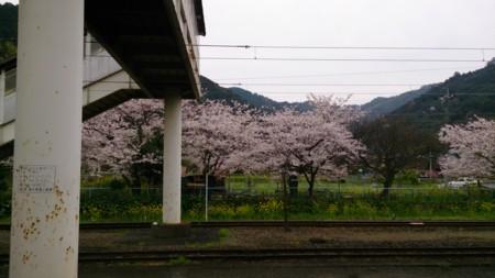 日奈久温泉駅で裏手の桜(*´ω`*)