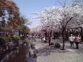 桜2018ニ之江さくら公園