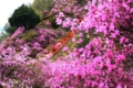 京都新聞写真コンテスト 躑躅咲く