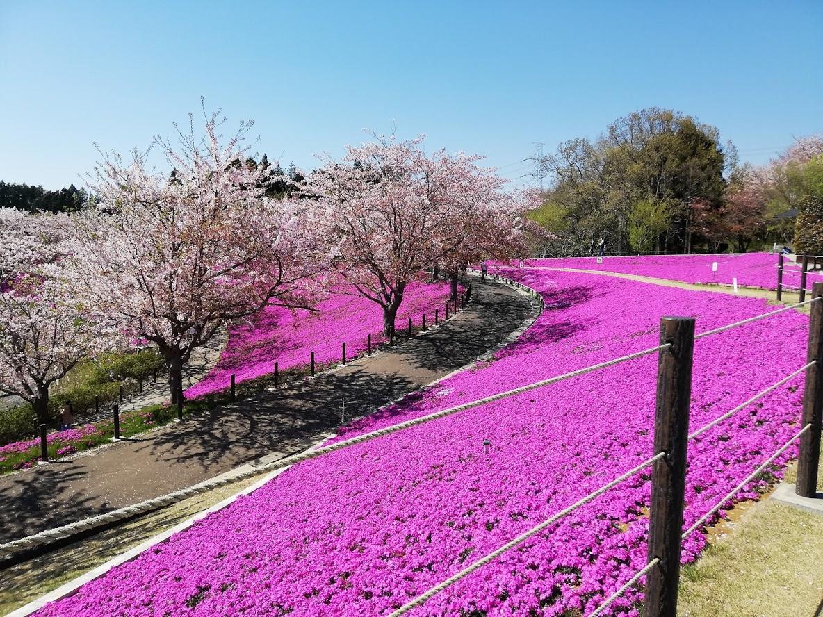牛久大仏の芝桜