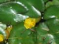 ウトリクラリア・ギッバ(オオバナイトタヌキモ)
