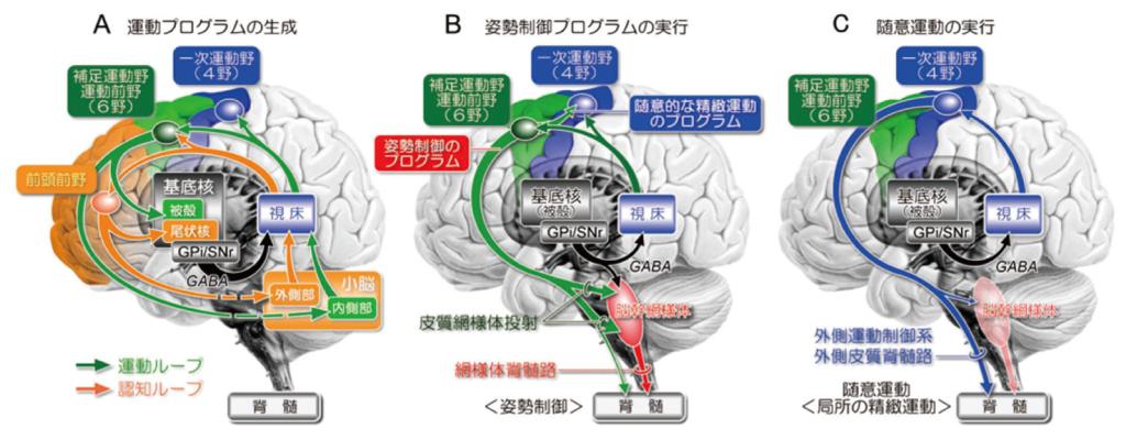 Fig.8 基底核による随意運動の制御機構