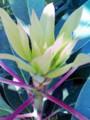 [flower]yuzuriha