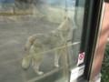 [イヌ]チュウゴクオオカミ
